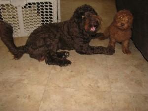 Hypoallergenic Austrailian Labradoodle Puppies in Iowa