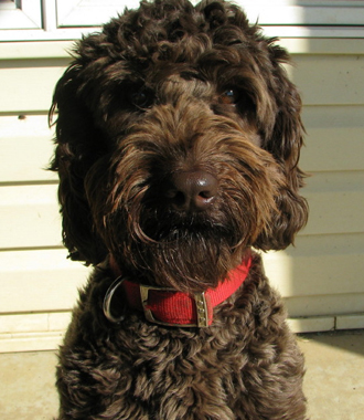 Australian Labradoodle Puppies For Sale & Adoption near Iowa