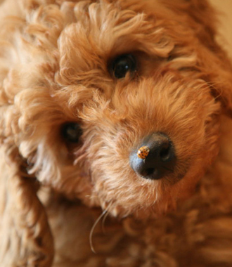 Hypoallergenic Australian Labradoodles Puppies for Sale in Iowa City