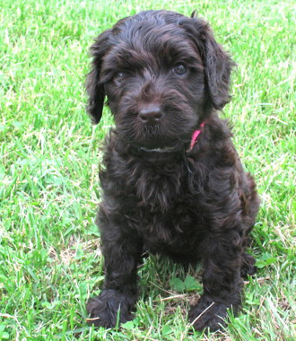 Labradoodle Breeder & Puppies For Sale in St Louis MO   Heartland