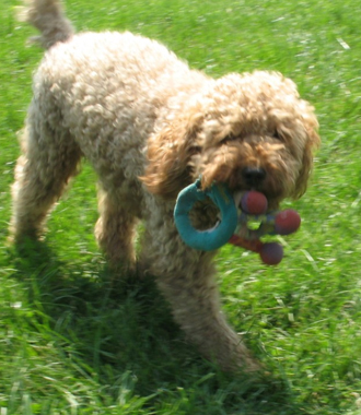 Labradoodle Breeder & Puppies For Sale in Chicago IL