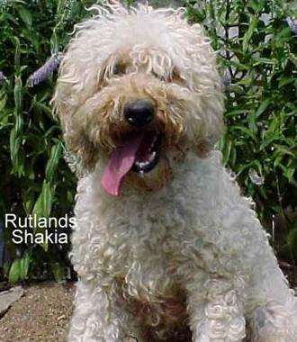 Australian Labradoodle Breeders & Puppies For Sale in Solon Iowa