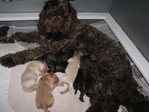 Brown Sugar-Mr Perfect puppies at 5 days, 7-27-15_1