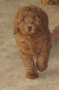 Precious Penny at 9 weeks 6-10-15