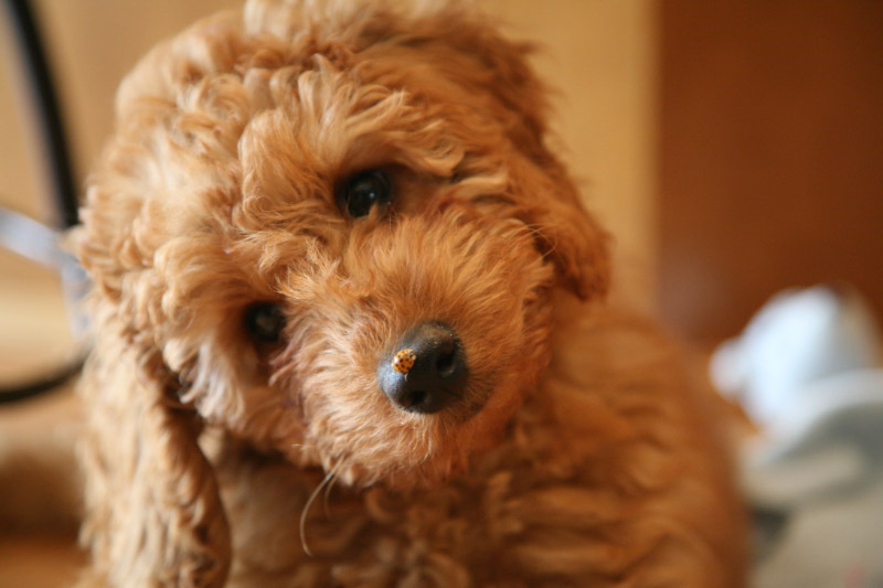 Medium Australian Labradoodle Breeders - Puppies for Sale in