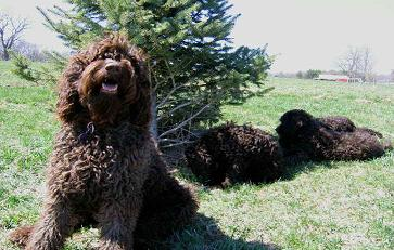 Australian Labradoodle Breeders & Puppies For Sale in Solon
