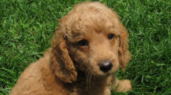 See Austrailian Labradoodle Puppies For Sale