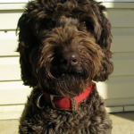 ustralian Australian Labradoodle Puppies For Sale