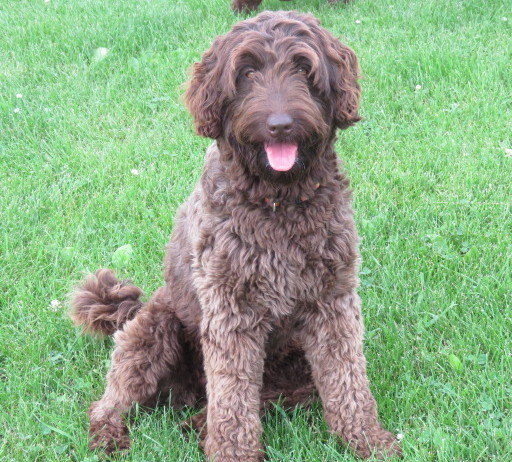 Hypoallergenic Australian Labradoodles Puppies for Sale in Iowa City, IA
