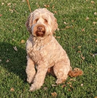 Hypoallergenic Australian Labradoodles Puppies for Sale in Iowa City, IA